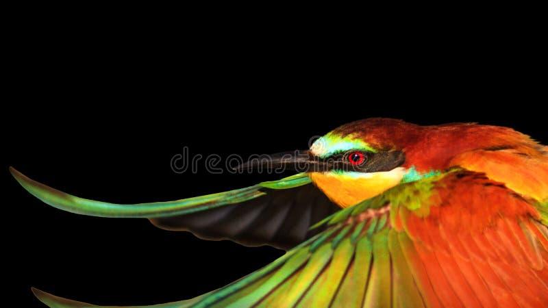 El pájaro colorido abrió las alas aisladas en fondo negro fotografía de archivo
