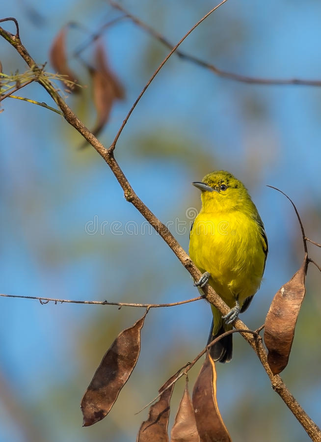 El pájaro común de Iora se encaramó en una pequeña rama minúscula fotos de archivo libres de regalías