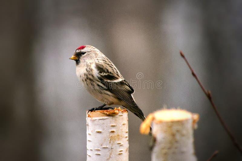 El pájaro común del Redpoll se encaramó en el tocón del abedul que hacía frente a la izquierda fotos de archivo