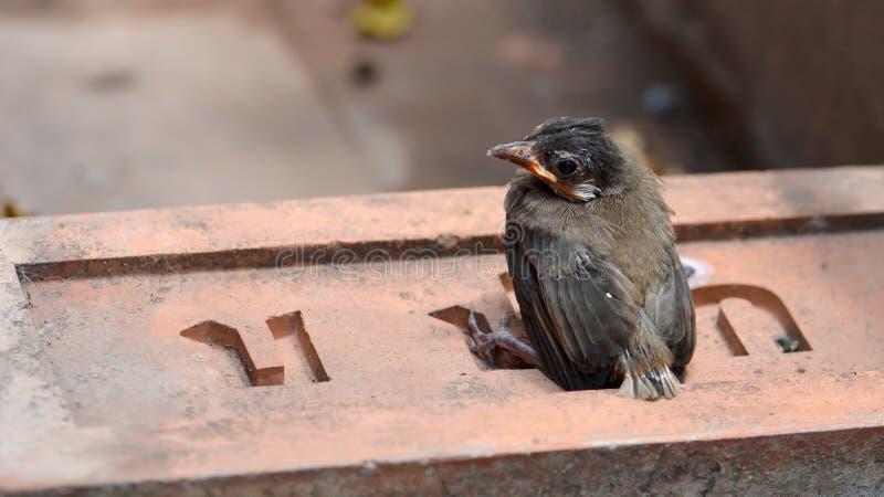 El pájaro de bebé rojo-patilludo del bulbul sentarse para relajarse en ladrillo rojo fotos de archivo libres de regalías