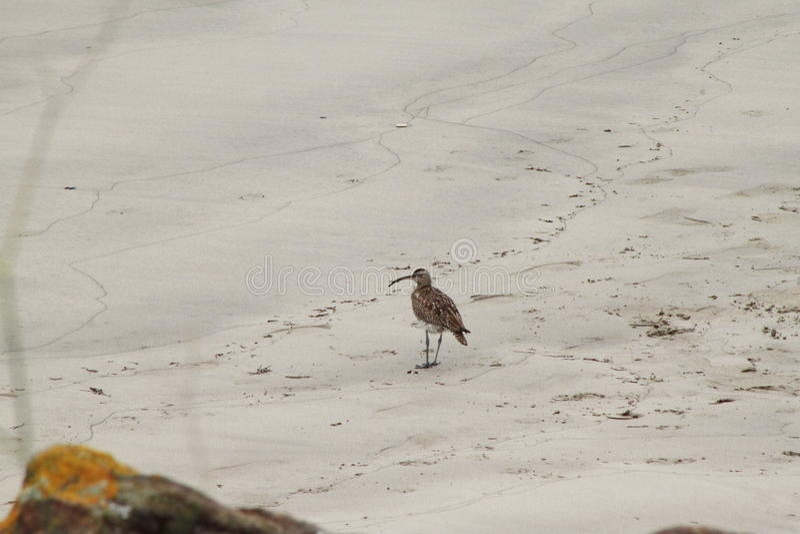 El pájaro de la costa foto de archivo