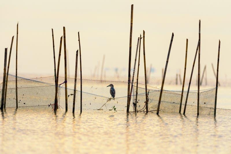 El pájaro de la garza de la charca en la red está buscando pescados como comida fotografía de archivo
