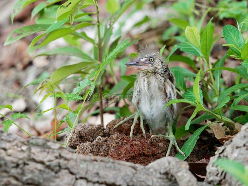 El pájaro de la garza del bebé que se sentaba en la tierra después de cayó apagado de jerarquía encima de un árbol imágenes de archivo libres de regalías