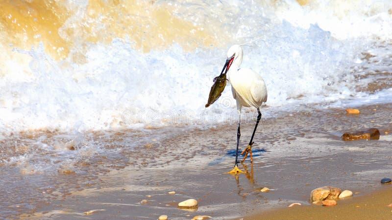El pájaro de la grúa cogió un pescado grande en una costa fotografía de archivo libre de regalías
