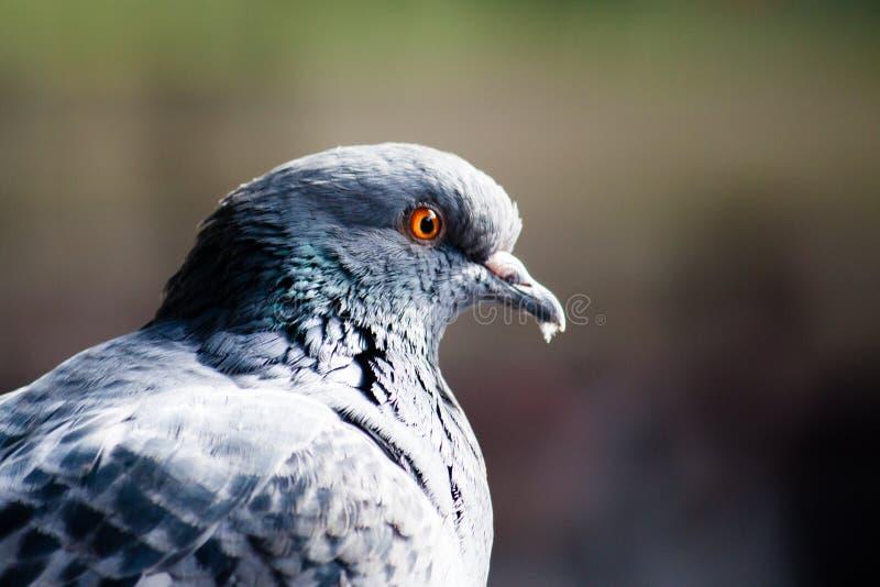 El pájaro de la paloma con los ojos amarillos anaranjados se cierra encima de la foto del retrato con fuera del fondo del foco imagen de archivo libre de regalías