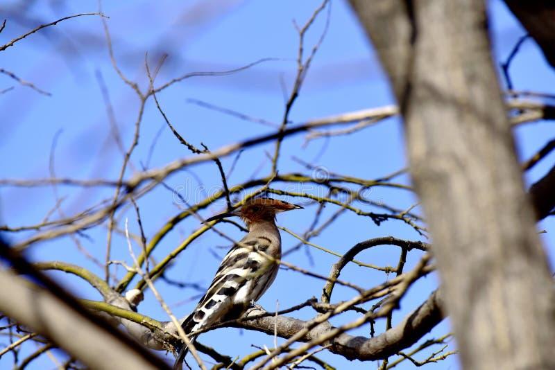 El pájaro de los epops del Upupa en el árbol del parque del invierno imagen de archivo