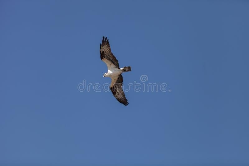 El pájaro de Osprey, haliaetus del Pandion, vuela fotos de archivo libres de regalías