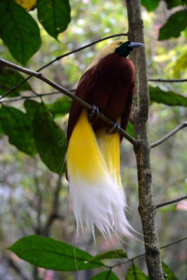 El pájaro de Raggiana foto de archivo libre de regalías
