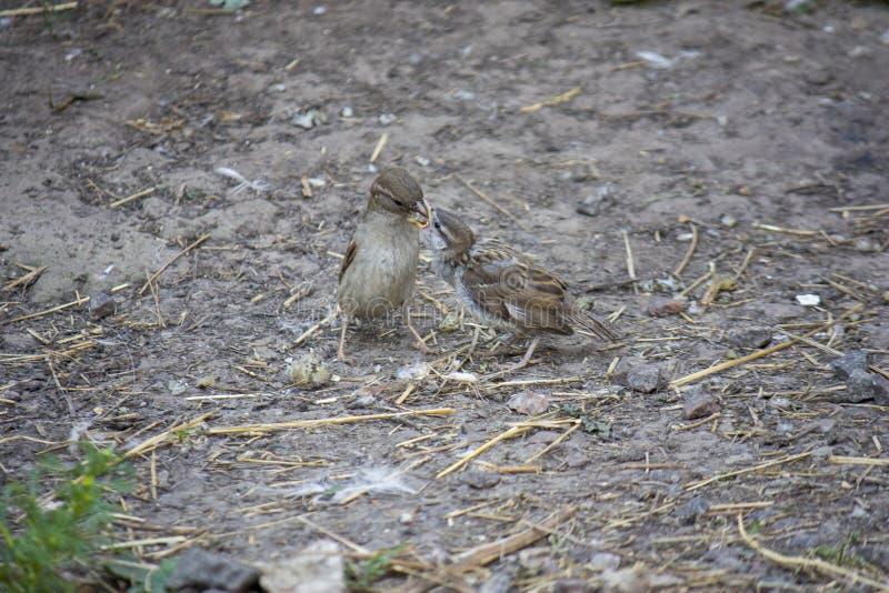 El pájaro del gorrión alimenta su polluelo hambriento en la tierra foto de archivo