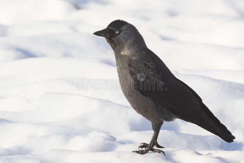 El pájaro del grajo se coloca en la nieve blanca y anticipa fotos de archivo libres de regalías