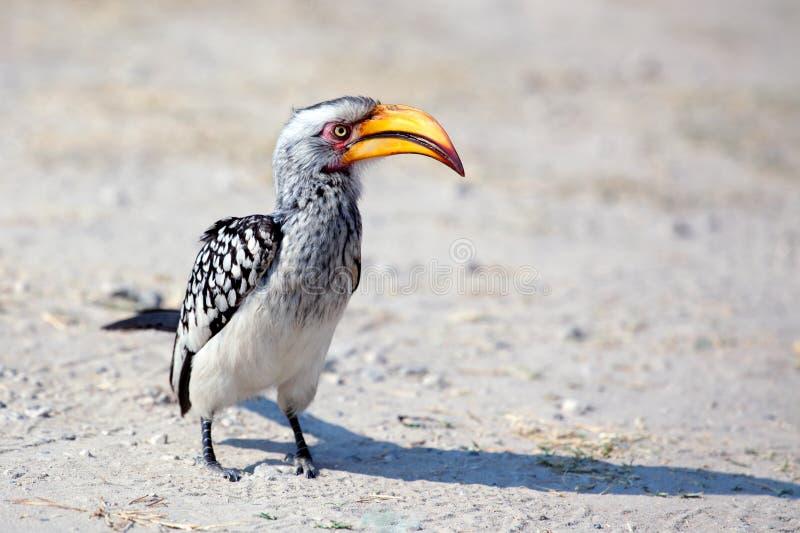 El pájaro del Hornbill con el pico amarillo brillante se coloca en el cierre de tierra para arriba en safari en el parque naciona imagen de archivo