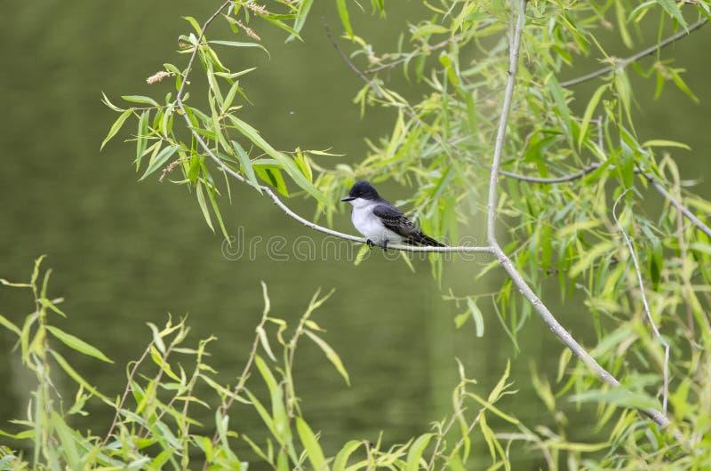 El pájaro del Kingbird del este se encaramó en árbol sobre la charca, Walton County Georgia los E.E.U.U. fotos de archivo libres de regalías