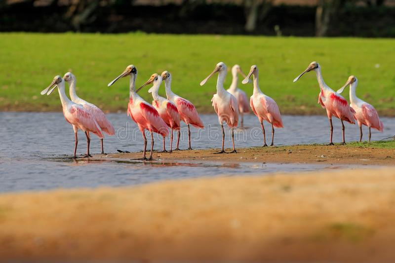 El pájaro del Spoonbill, se reúne cerca del río Pájaro hermoso de la salida del sol, ajaja del Platalea, Spoonbill rosado, en la  imagen de archivo libre de regalías