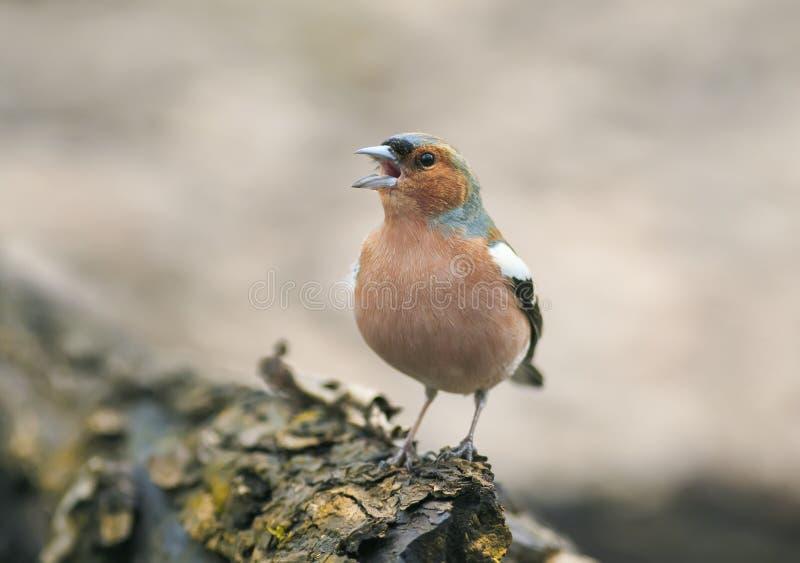 El pájaro divertido de la primavera en el parque en un árbol y canta foto de archivo libre de regalías