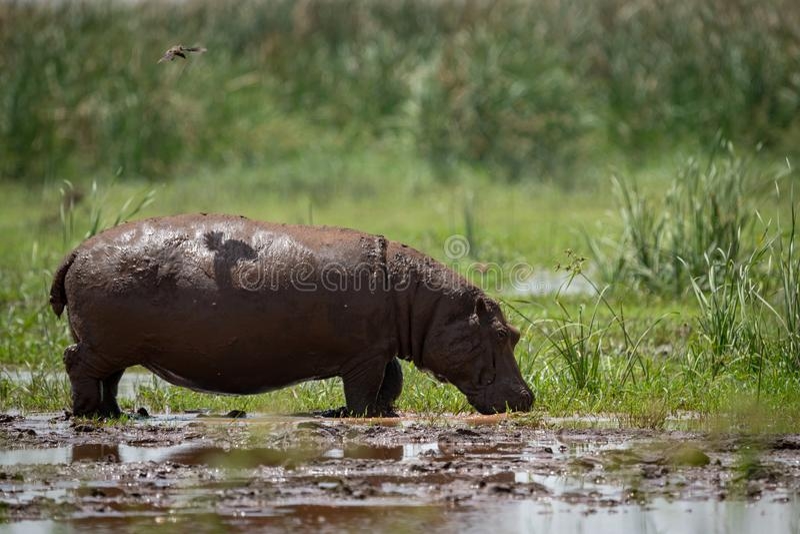 El pájaro echa la sombra en hipopótamo en pantano imagen de archivo libre de regalías