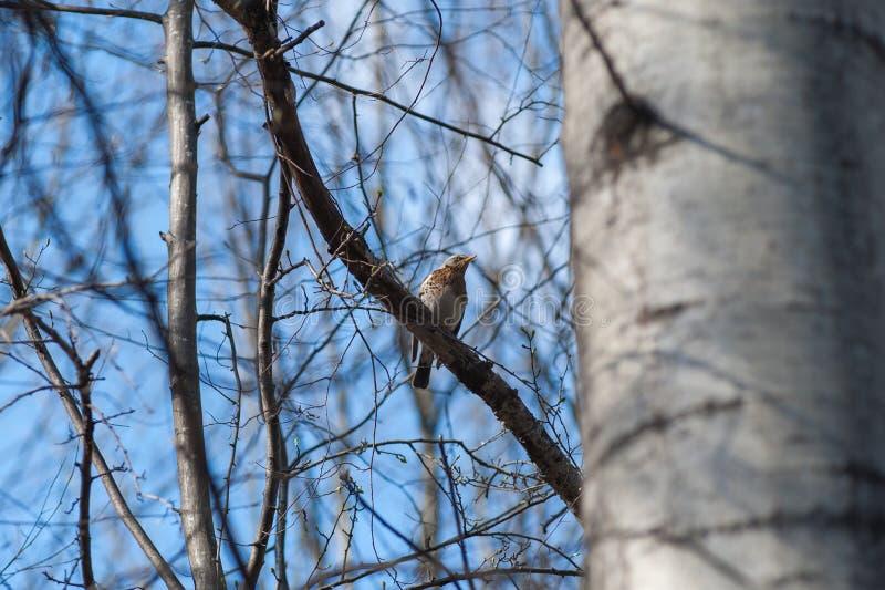 El pájaro en una rama en la primavera, primavera viene, los brotes florece con la llegada de pájaros ilustración del vector