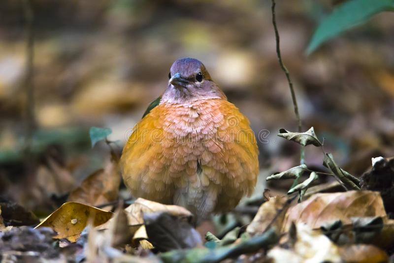 El pájaro es Cat Tien National Park Viet Nam enojada y rizada fotos de archivo