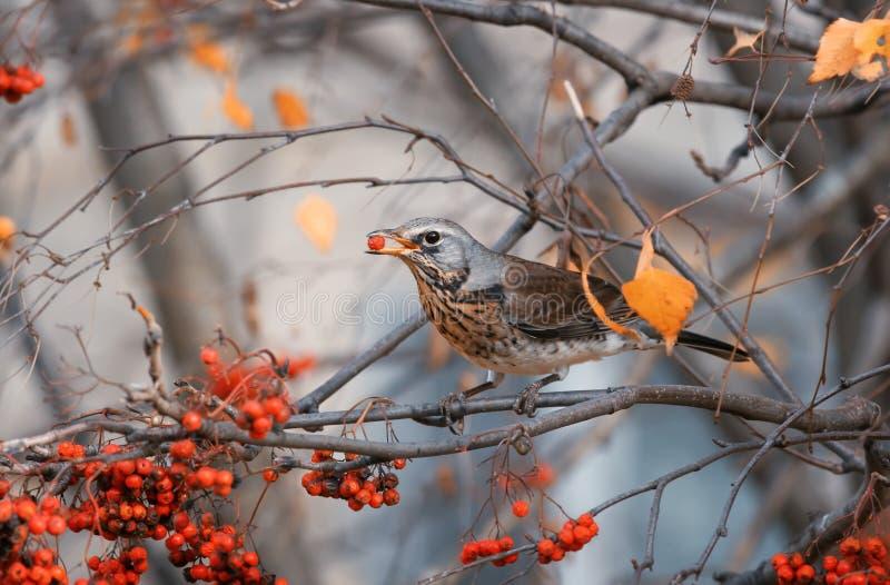 el pájaro es un mirlo se sienta en un parque y la consumición de bayas de serbal fotografía de archivo libre de regalías