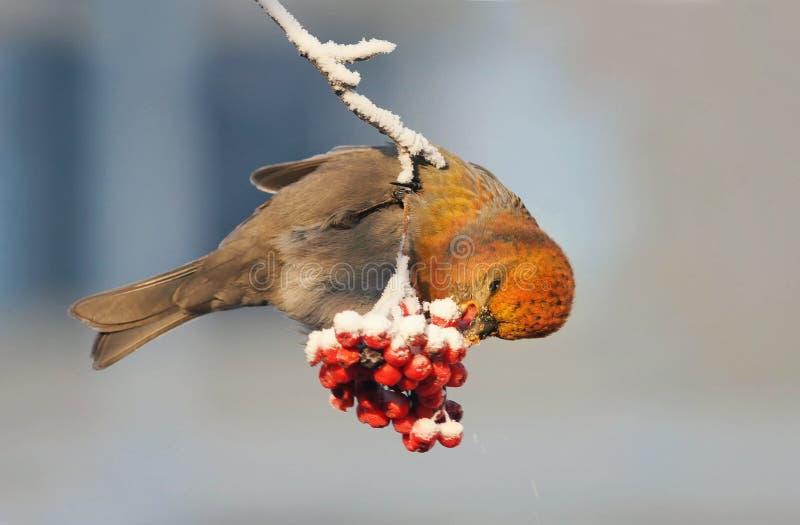 El pájaro está comiendo bayas de un serbal congeladas rojas en parque del invierno imagen de archivo libre de regalías