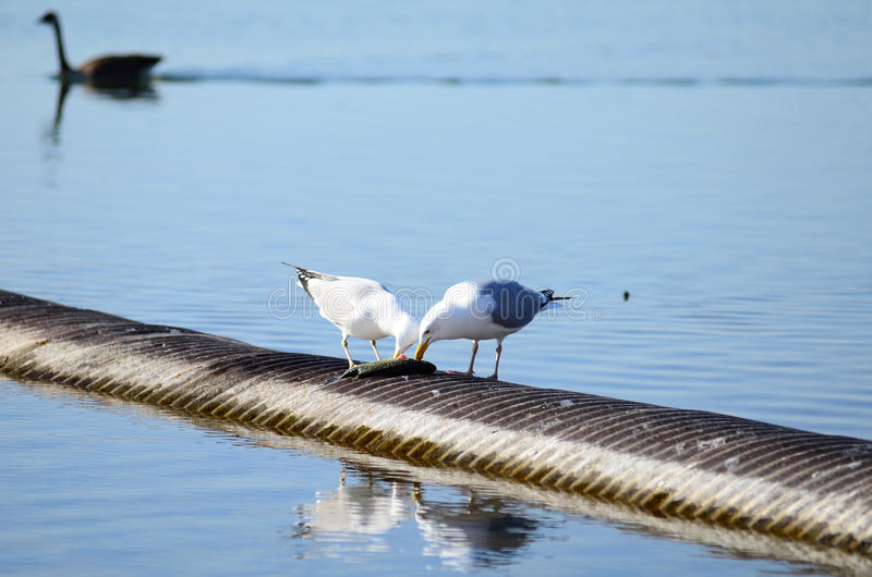 el pájaro está comiendo pescados en el lago Ontario, Toronto admitido imagen de archivo