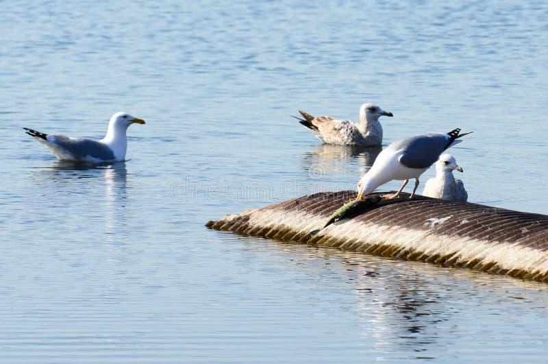 el pájaro está comiendo pescados en el lago Ontario, Toronto admitido foto de archivo