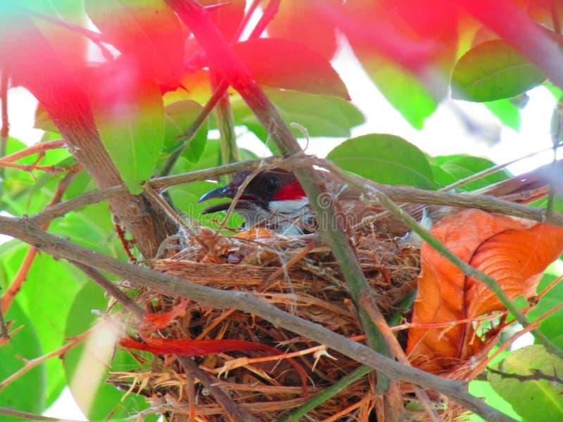 El pájaro hermoso del bulbul o el jocosus rojo-patilludo de Pycnonotus del bulbul, o el bulbul con cresta, es un pájaro passerine foto de archivo