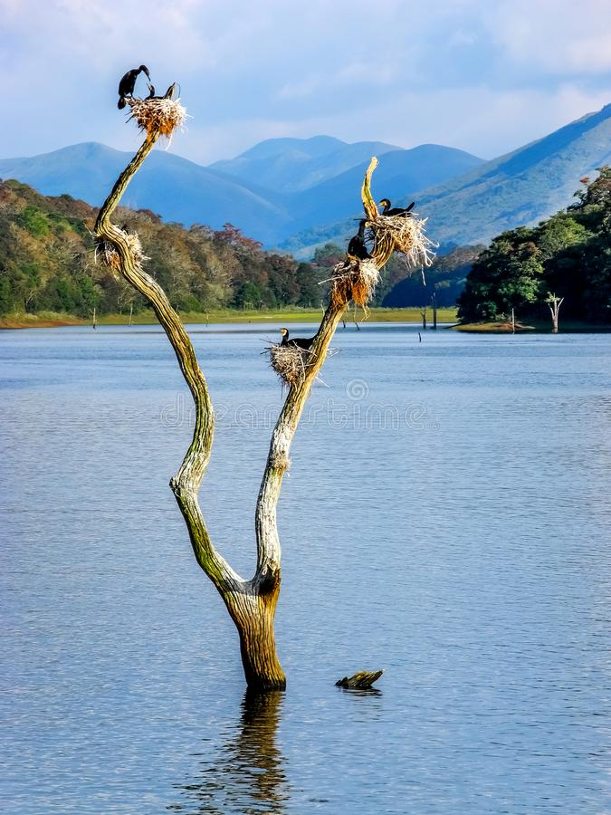 El pájaro jerarquiza en tocones de árbol en el lago Periyar, Kerala, la India imagen de archivo