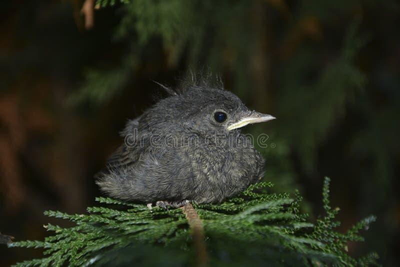 El pájaro joven negro de Redstart se sienta del lado en rama en un seto imagen de archivo
