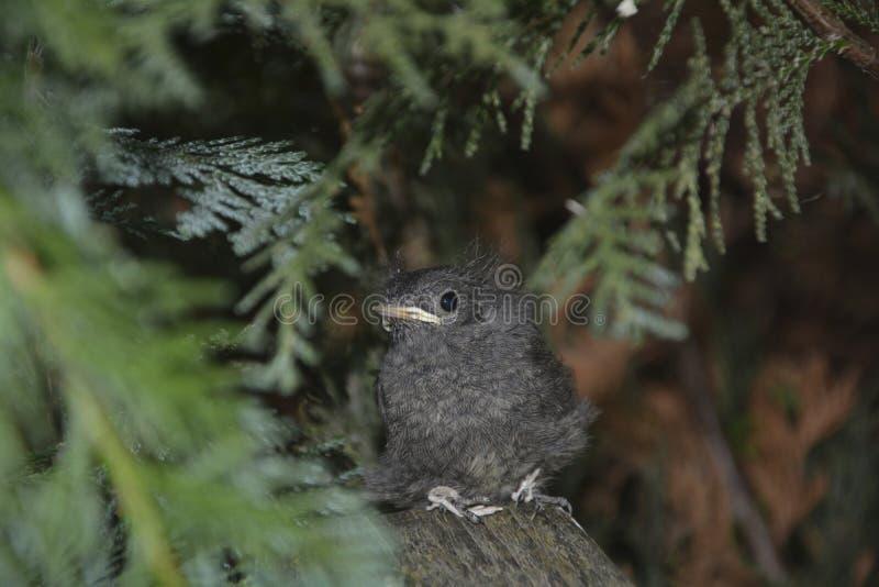 El pájaro joven negro de Redstart se sienta en rama en un seto foto de archivo