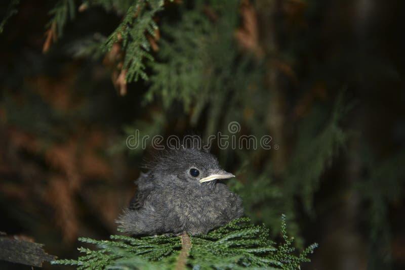 El pájaro joven negro de Redstart se sienta en rama en un seto imagen de archivo