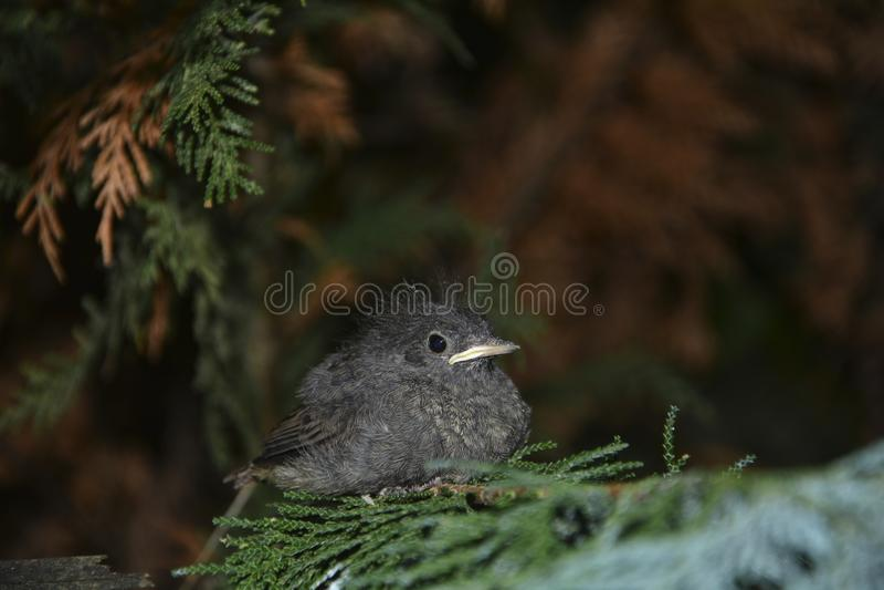 El pájaro joven negro de Redstart se sienta en rama en un seto imagen de archivo libre de regalías