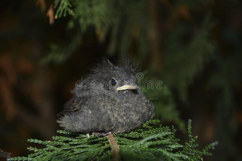 El pájaro joven negro de Redstart se sienta en rama en un seto fotografía de archivo