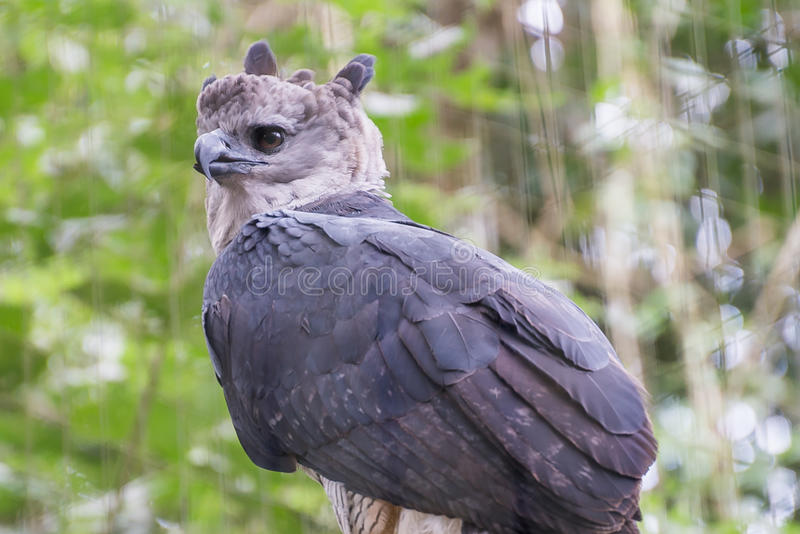El pájaro majestuoso de la arpía del águila en el Brasil fotografía de archivo libre de regalías