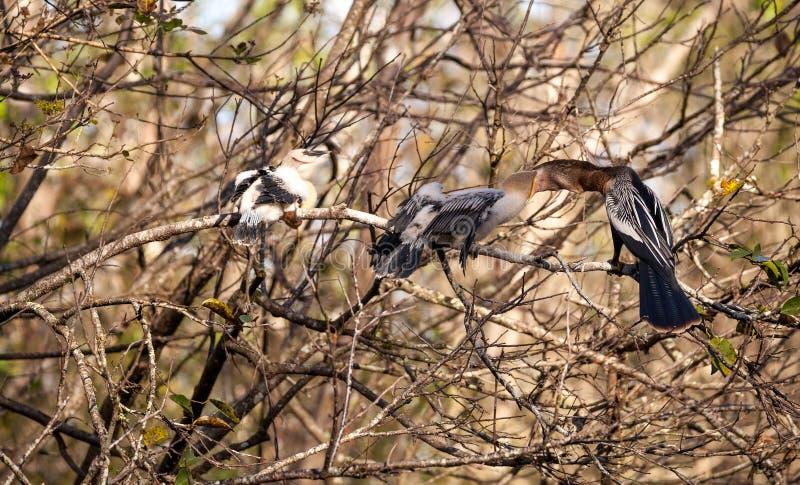 El pájaro masculino del Anhinga llamó las alimentaciones mañana del anhinga y del snakebird de Anhinga imagen de archivo