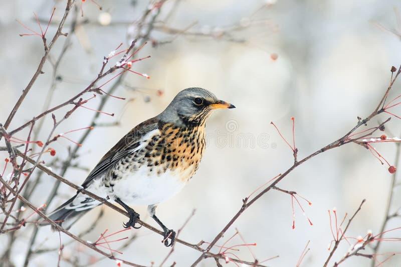 El pájaro moteó el tordo que se sentaba en una rama con las bayas en invierno imagen de archivo libre de regalías