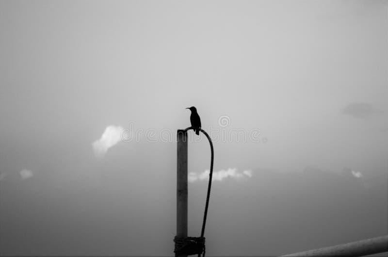El pájaro negro fotografía de archivo