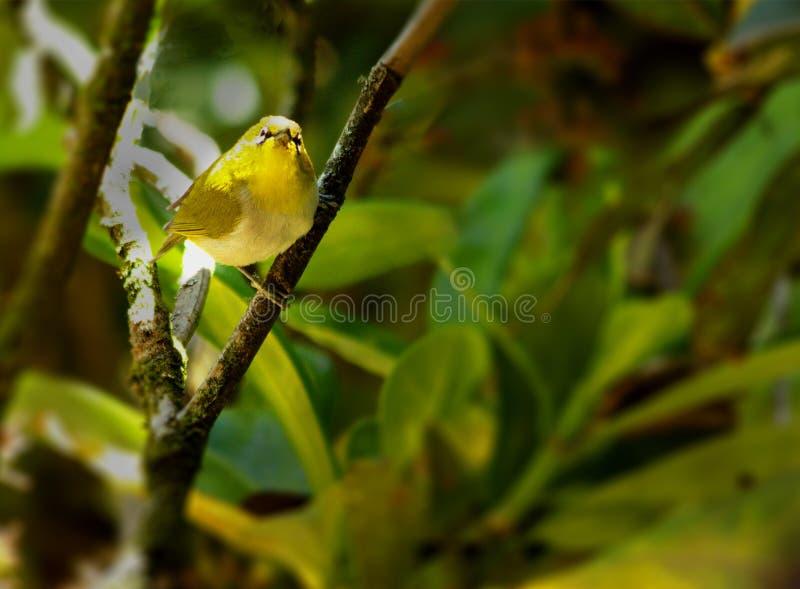Download El Pájaro Oriental Del Blanco-ojo Imagen de archivo - Imagen de brillante, pequeño: 64202237