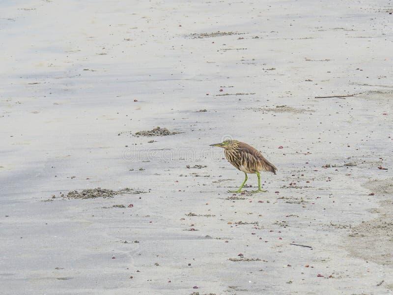 El pájaro se coloca en la playa de Morjim en Goa septentrional La India foto de archivo