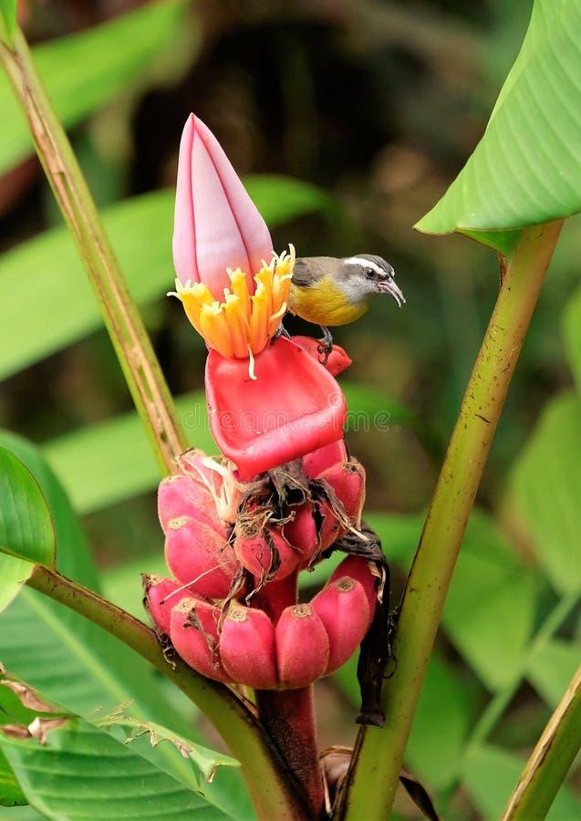 El pájaro tropical se sienta en una fruta florecida de una planta fotografía de archivo