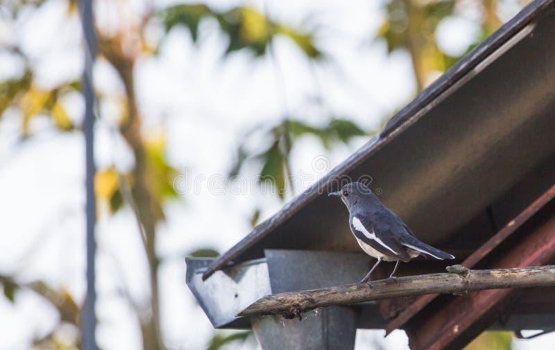 El pájaro u otro de los saularis de Copsychus pájaro oriental del petirrojo de la urraca del nombre es un pájaro residente Él fác foto de archivo libre de regalías