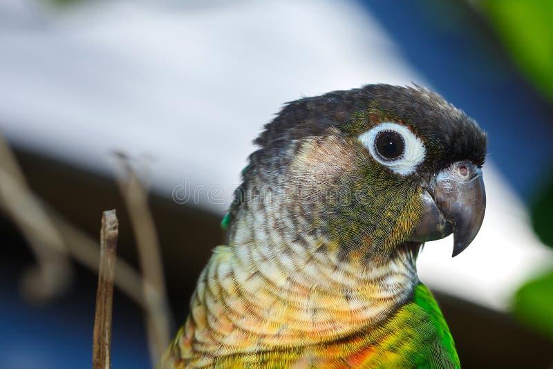 El pájaro verde hermoso coloreó los loros, entrenamiento del loro, conure verde-cheeked imagenes de archivo