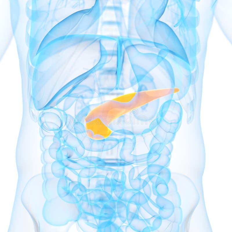 El páncreas ilustración del vector