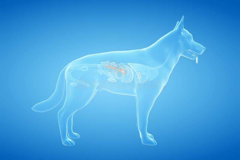 El páncreas canino stock de ilustración