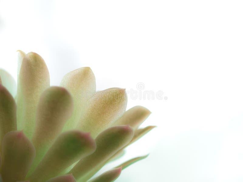 El pétalo de la luz de la flor del cactus brilla imagen de archivo