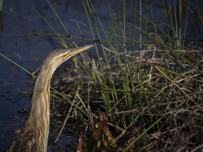 El p?jaro de la agua madre de salmuera americana camufl? bien fotografía de archivo libre de regalías