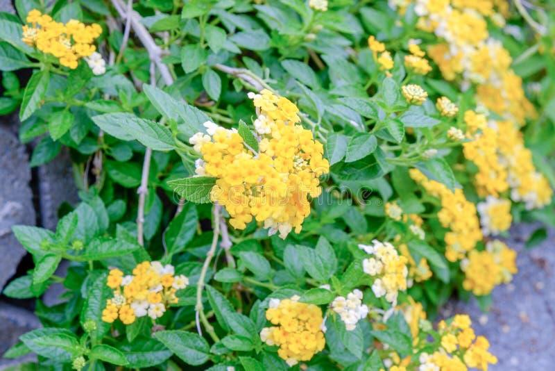 El paño de la flor del oro o del seto es un grupo de flor amarilla en el jardín imagen de archivo