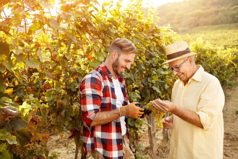 El padre y su hijo está escogiendo la uva en viñedo imagen de archivo