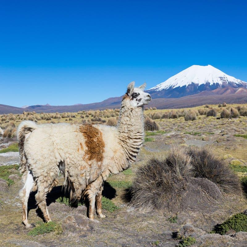 El paisaje andino con el volcán de Prinacota, Bolivia imagen de archivo libre de regalías