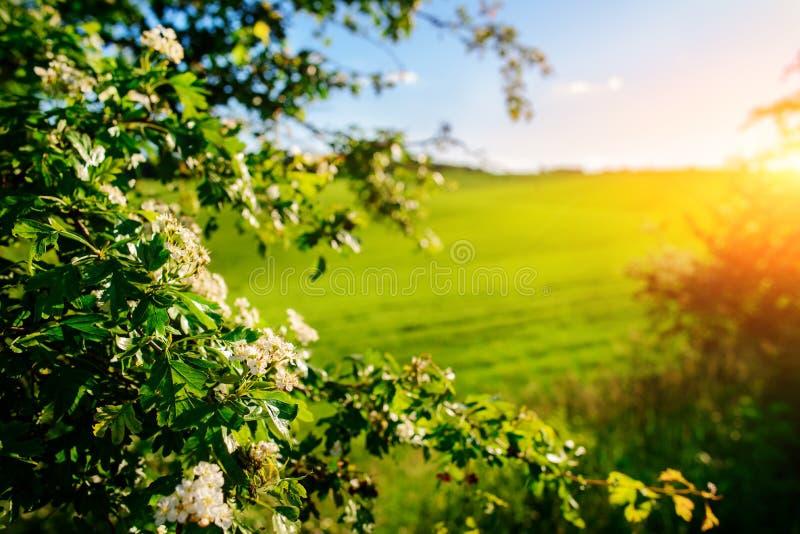 El paisaje de la mañana con el campo verde, rastros de tractor en sol irradia foto de archivo libre de regalías