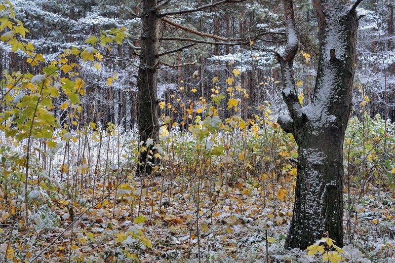 El paisaje del bosque, los específicos de estaciones en la naturaleza, invierno viene substituir otoño imagenes de archivo